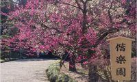 偕楽園「梅まつり2015」見ごろはいつ?近隣駐車場はいくら?