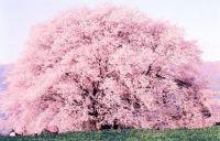 熊本 桜の開花2015年はいつ?おすすめ花見スポットと駐車場情報