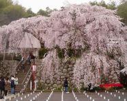 京都【桜】おすすめ名所&穴場スポット!ライトアップや駐車場情報