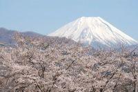 山梨の桜 開花情報!名所や公園の満開の時期はいつ?