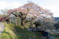 長野の桜 おすすめ人気スポットはどこ?開花&駐車場情報