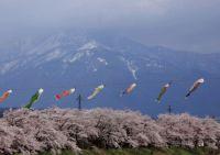 福井の桜2015開花予想!イベントをやる公園の見頃はいつ?