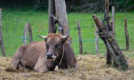 La vaca contemplativa