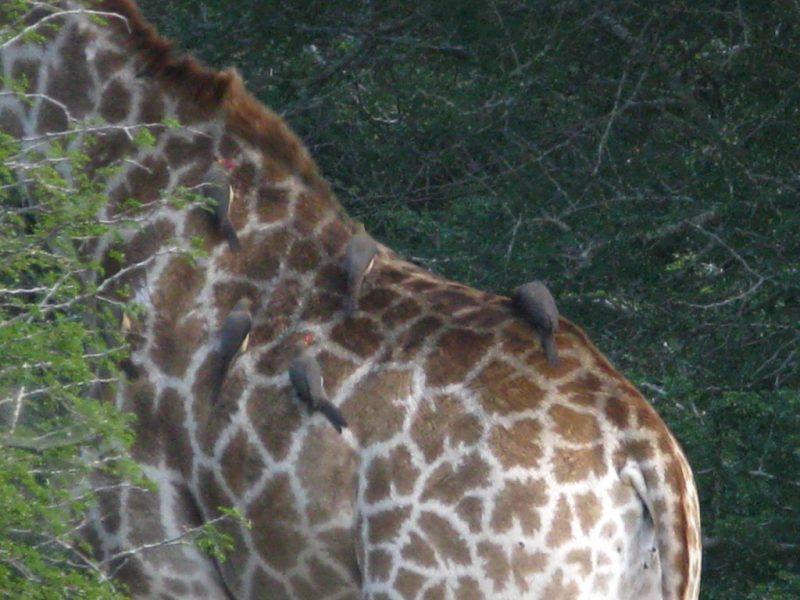 South Africa Safari bird on a giraffe