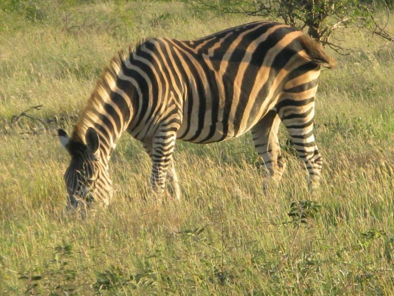 Zebra in the African sun