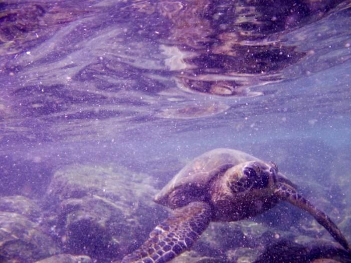 Pu'uhonua o Honaunau turtles