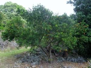 The golden tangerine tree