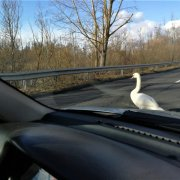 Swan in the road