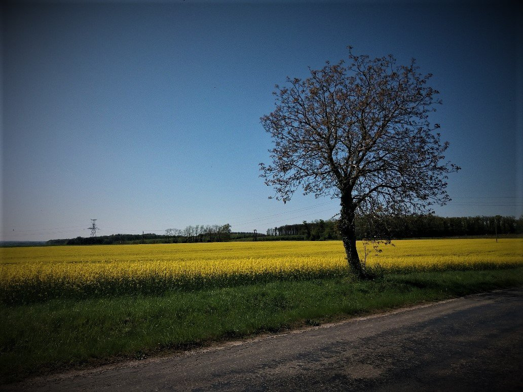 View of a field of rapeseed the day before Easter Sunday