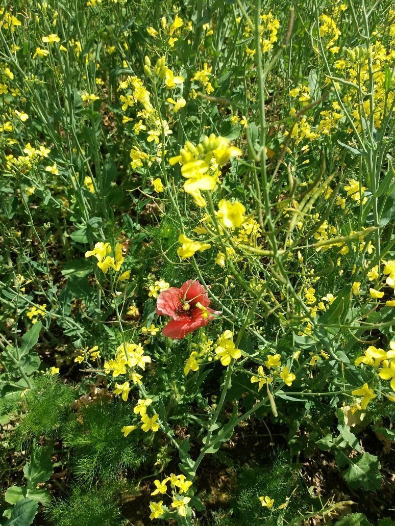 Lone poppy in a field of rapeseed on the long way home