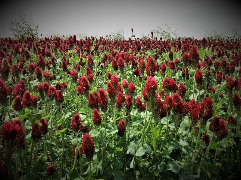 field of Celosia in bloom