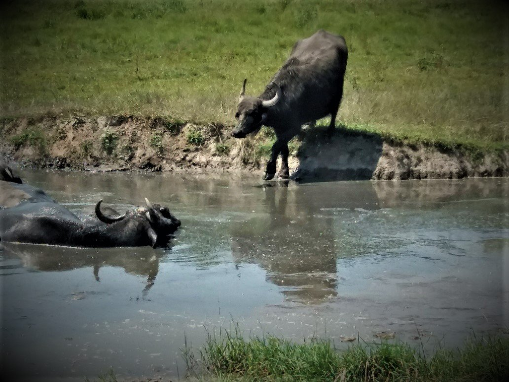 Buffalo stepping into a wallow