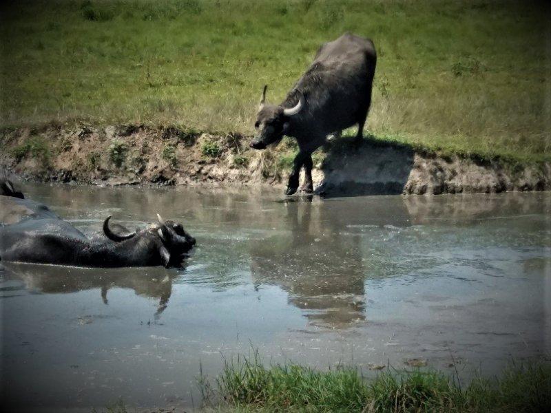 Buffalo stepping into a wallow