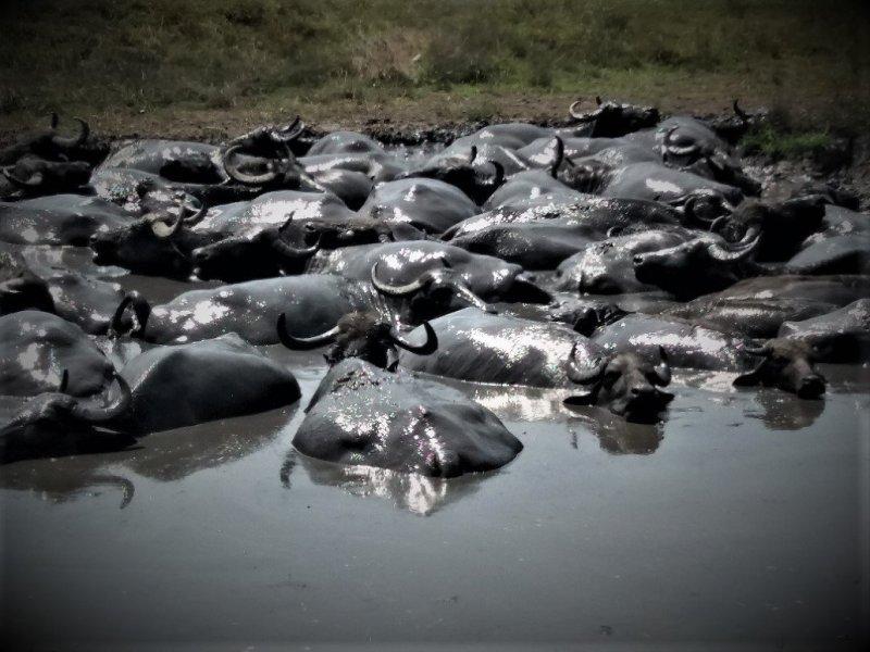 lots of buffalo wallowing