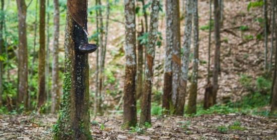Hévéa (rubber tree)
