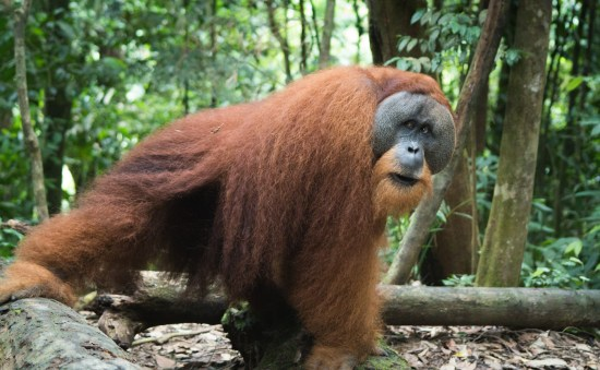 Le roi de la jungle de Sumatra