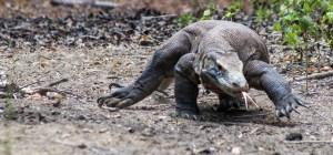 Florès - Dragon de Komodo