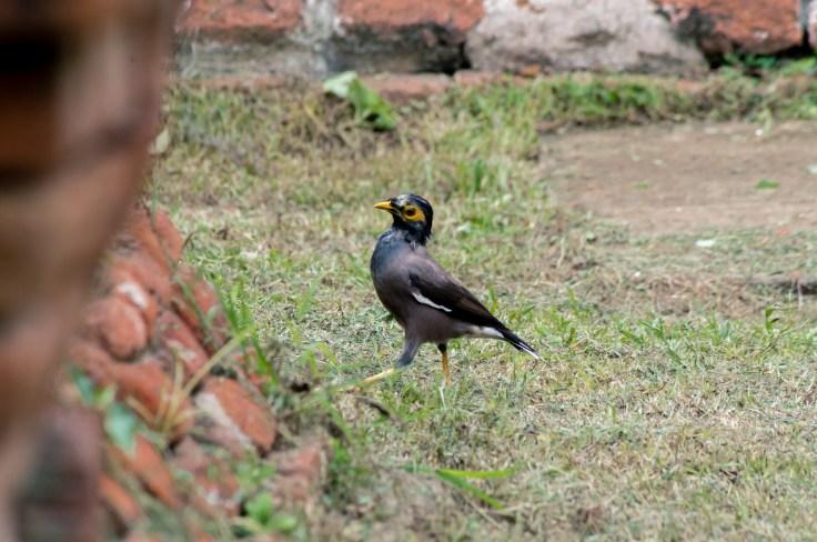 Ayutthaya oiseau ruines
