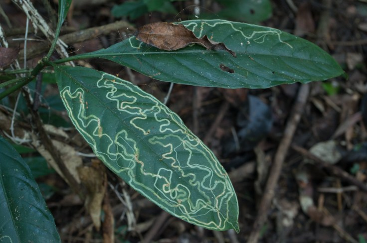 Khao Yai leaf patterns