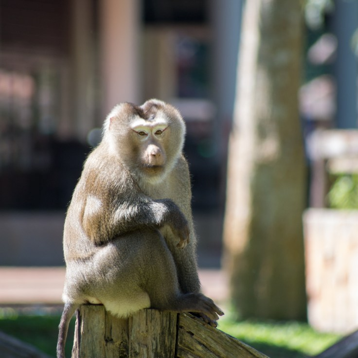 Khao Yai macaque