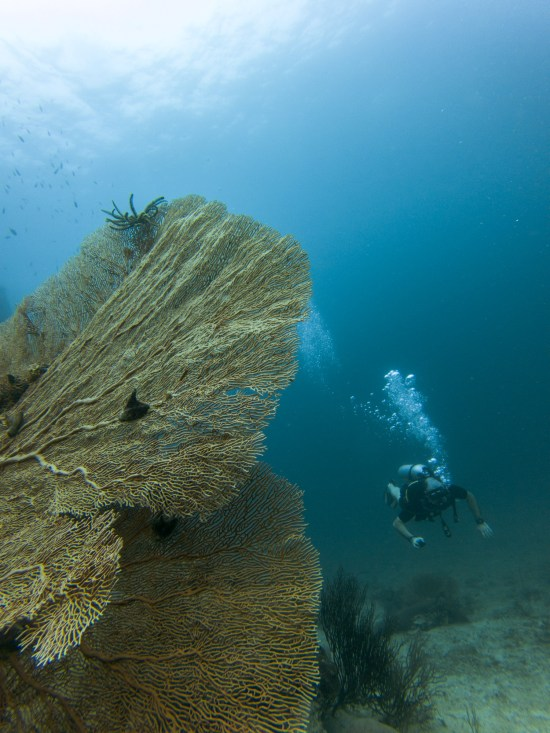 Thailande - Koh Bida - plongeur - corail gorgone