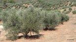 Royaume de l'olivier