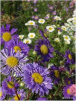 Gros plan net de fleur violette, type marguerite