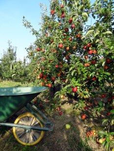 Image d'une charrette sur un champ de pommiers