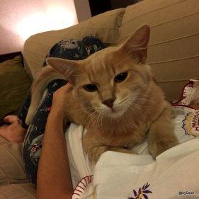 Petit-chat-gingembre-posé-sur-ventre