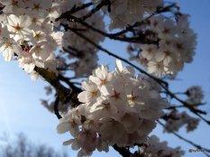 Detail-clair-obscur-cerisier-Berne