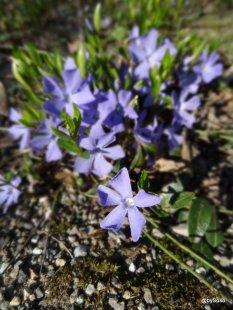Fleurs-violettes-Berne