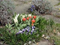 Tulipes-Berne-printemps