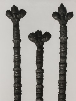 Karl Blossfeldt, Urformen der Kunst, 1928 Courtesy The Walther Collection and Karl Blossfeldt Archiv / Ann und Jürgen Wilde