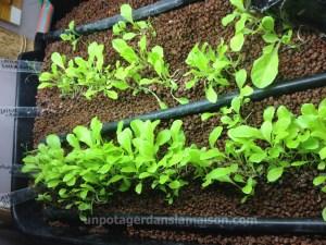Salades à couper dans le filtre biologique de mon système aquaponique.