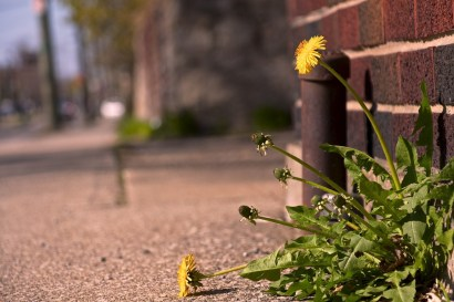 When you break through the concrete, into the light on a dirty city street, just remember, you're still a dandelion and everybody hates you.