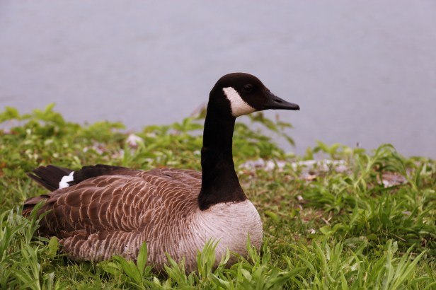 Lone, not Loon