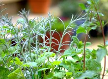 herbs to fight foodborne illness