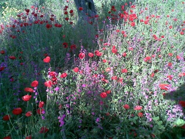 fiori attorno agli ulivi  Un quadrato di giardino