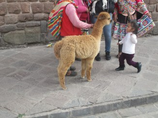 Alpaca about to be punched