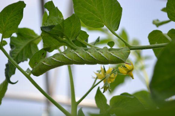 Hornworm Close Up