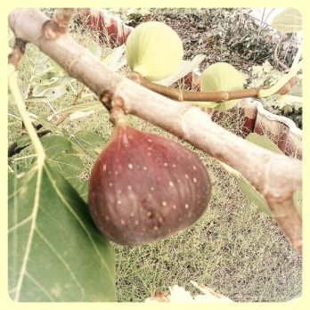 Fig on branch