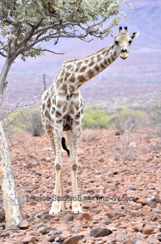 giraffe, namibie