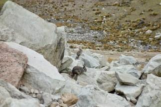 Viscachas! Helping us up the climb
