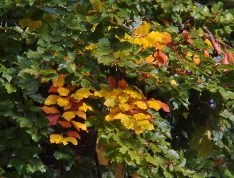 Farbiger Herbst, Blätter einer Buche(Foto: U. Sommer)