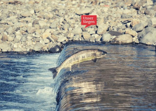 Ein Lachs auf dem Weg zum Laichplatz, wie es auch an der Sieg seit ein paar Jahren wieder möglich ist. Foto von Cock-Robin @pixabay