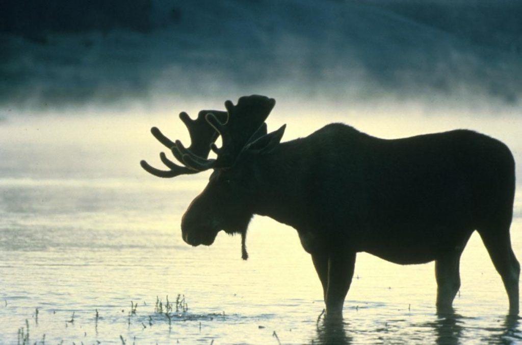 Bull Moose Original