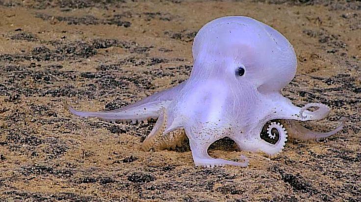 Rare Ghostlike Octopus