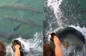 Massive Fish Attempts To Bite Guy's Arm
