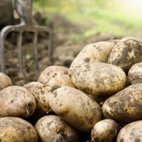 Why are Potatoes Called Spuds?