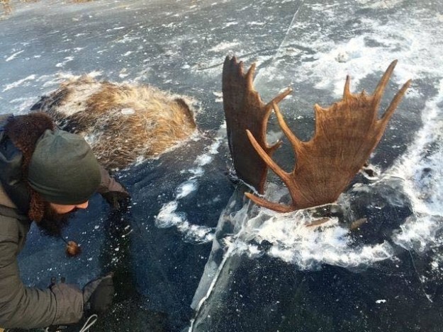 Two Moose Found Frozen In Ice Locked In Mortal Combat
